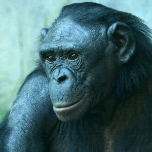 Bonobo Facts