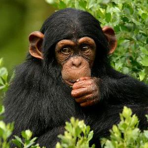 Common chimpanzee Facts